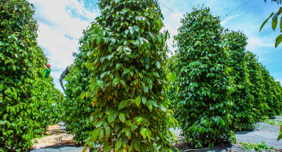 How to import Vietnamese black pepper from Sybil Agri?